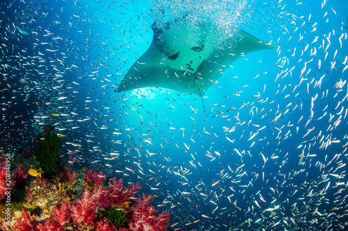 Fotografie, Obraz Huge Oceanic Manta Ray swimming over a colorful, healthy tropical coral reef