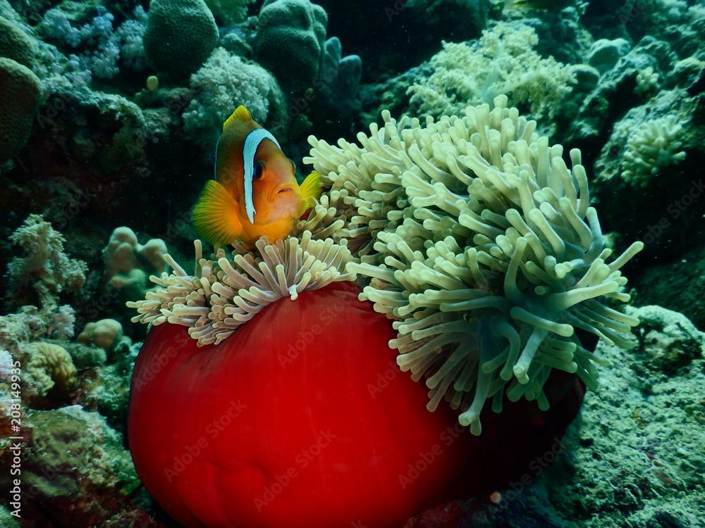 Fototapeta Błazenek Nemo Ryby
