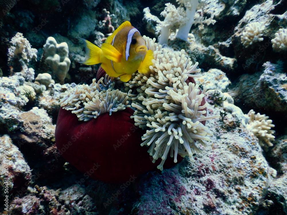Fototapeta Błazenek Nemo ryby w ukwiale