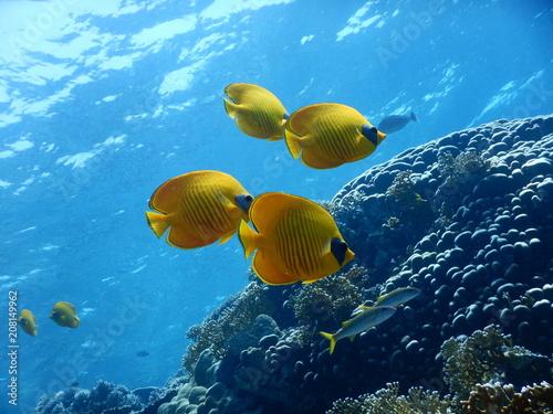 Fototapeta Ryby Morze Czerwone obraz