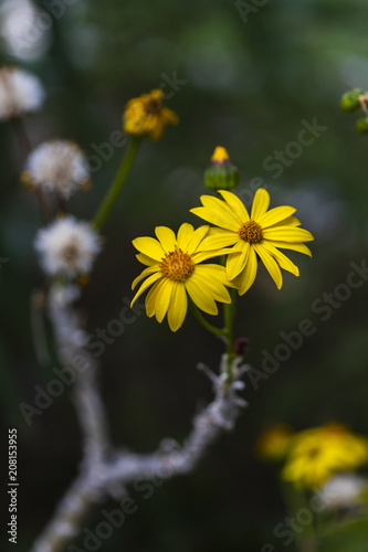Fotobehang Bloemen Broomstick Tree flowers