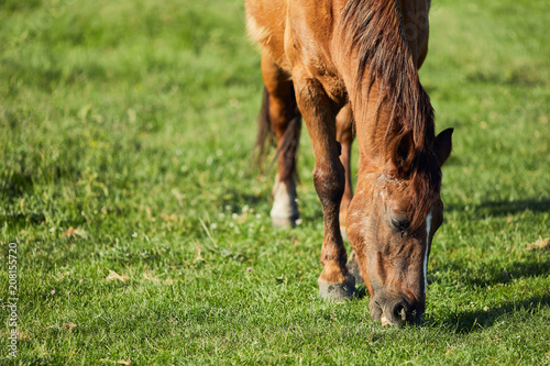Horse eat graas on the field Poster