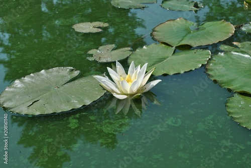 Fototapeta Lilia wodna  lilia-wodna-nymphaea-alba