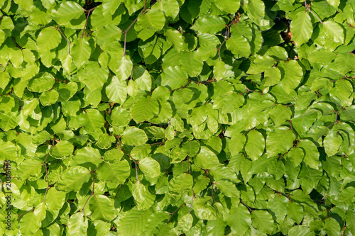 Leaves of a beech hedge in the sunlight