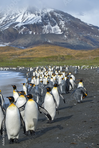 King Penguin Colony, St Andrew's Bay, South Georgia Island, Antarctic Canvas Print