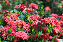 Macro Shot Of A Bed Of Red Santan Flowers With Blurry Green Background