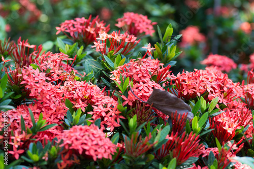 Macro Shot Of A Bed Of Red Santan Flowers With Blurry Green