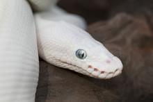 Leucistic Ball (Royal) Python Snake