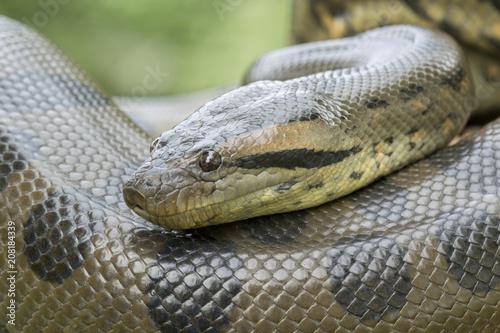 Photo Green Anaconda Snake