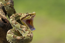 Green Venomous Eyelash Viper (Bothriechis Schlegelii) With Open Mouth And Fangs Retracted