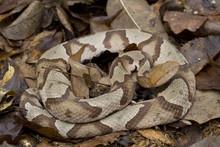 Venomous Copperhead Snake (Agk...