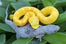 Yellow Eyelash Viper Snake Eating Gecko Lizard