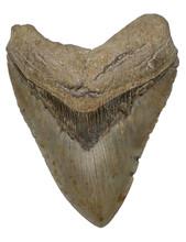 Giant Prehistoric Megalodon Sh...