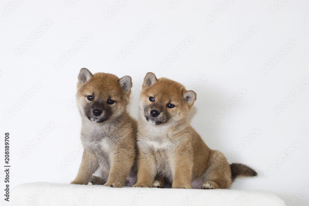 Fototapety, obrazy: 二匹の豆柴子犬