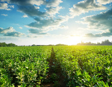 Cultivated Field Of Broad Or F...
