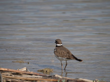 A Killdeer Standing In Shallow Water With Its Back To The Camera. Y