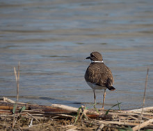 Killdeer Wading In Shallow Water. Photographed With A Shallow Depth Of Field With A Lake In The Background.