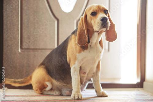 Foto  Pregnant dog
