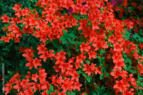 Fotobehang Azalea Red azalea bush in the garden