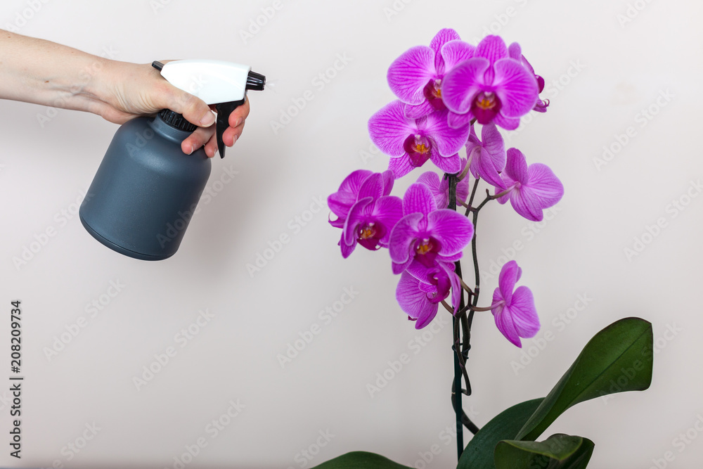 A florist girl holds a bottle with water sprayer near a purple orchid