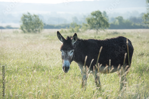 Poster Ezel Donkey at sunrise in field