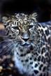 canvas print picture - A photo of a male jaguar (Panthera onca)