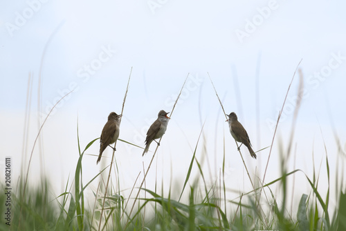 Photographie  A trio of ever-screaming warblers sitting in thickets of reeds