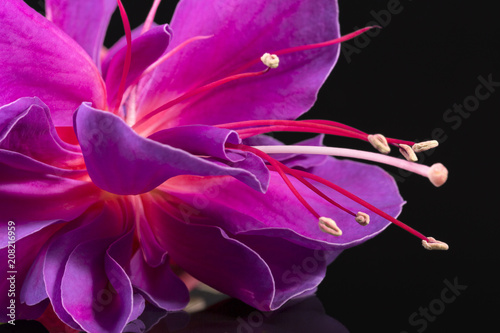 Photo Single flower of fuchsia isolated on black background, close up.