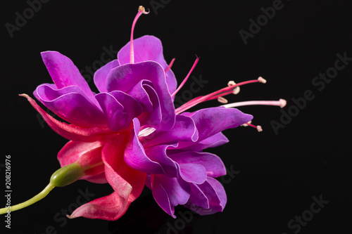 Single flower of fuchsia isolated on black background, close up. Fototapet
