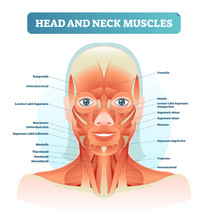 Head And Neck Muscles Labeled ...