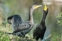 Double-crested Cormorant Showi...
