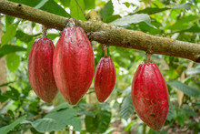 Fresh Cocoa Pods