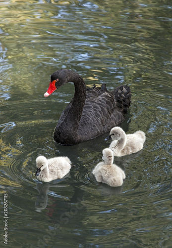 Fototapeta premium Black Swan in a forest lake with small swans.