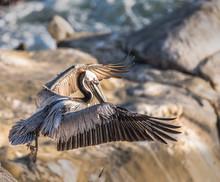 A Photograph Of A Brown Pelican Taking Off In La Jolla, California, USA