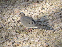 Mourning Doves (Zenaida Macroura) Foraging For Seeds And Food In Rocks And Dirt In Arizona In The Desert