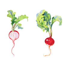 Watercolor Radish With Tops. P...