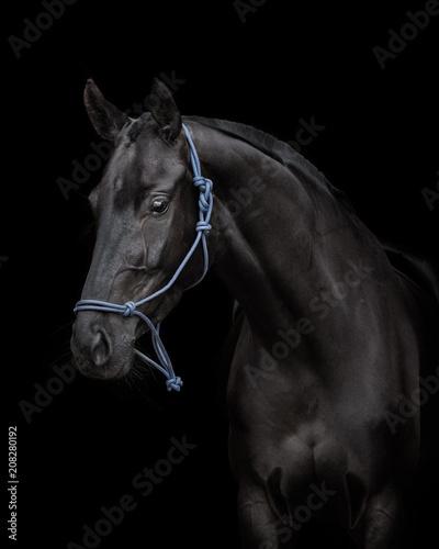 Fototapety, obrazy: Portrait of black horse isolated on black background