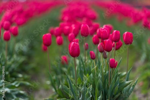 Perfectly pink tulips in a perfect tulip field in Oregon Poster