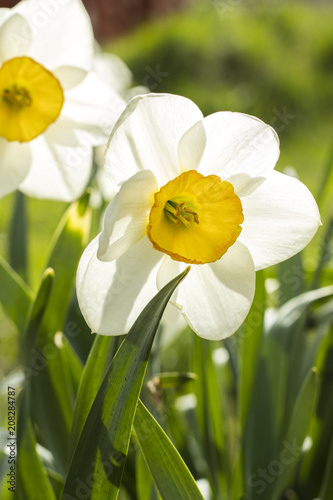 In de dag Narcis White narcissus (Narcissus poeticus). Copy space