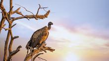 White-backed Vulture At Sunset In Kruger National Park