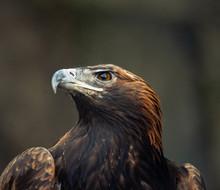 Portrait Of Wild Eagle