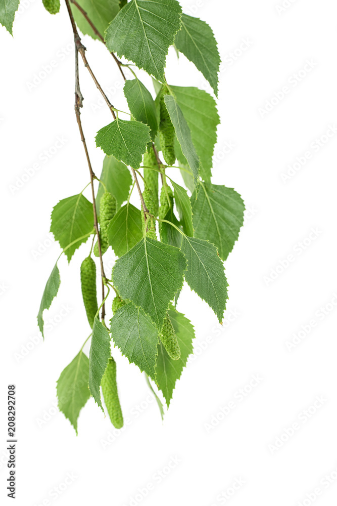 Young branch of birch with buds and leaves, isolated on white background