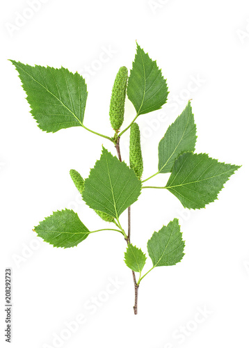 Spring, young birch branch on a white background.