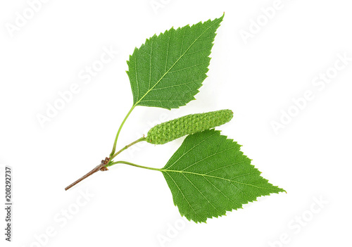 Green birch branch with buds isolated on white background