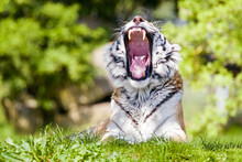 Yawning Siberian Tiger In Afternoon Sunshine