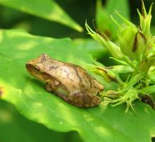 Tiny Spring Peeper Frog