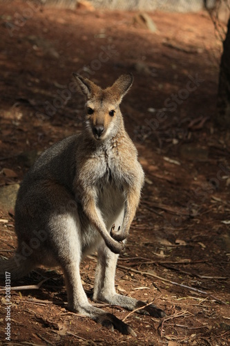 Deurstickers Kangoeroe Wild Kangaroo/Wallaby resting in the hot dry sun during drought season, surrounded with dry yellow grass, red dirt and trees in Tamworth, New South Wales, Rural Australia