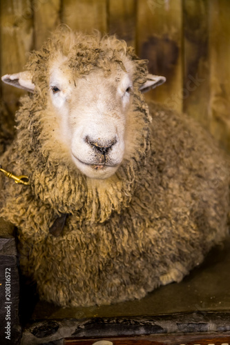 Fotobehang Schapen sheep exhibition and sheep show in new zealand, merino and other breeds