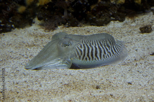 Fotografie, Obraz Common cuttlefish,  European common cuttlefish (Sepia officinalis)