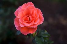 Candelabra Pink Rose